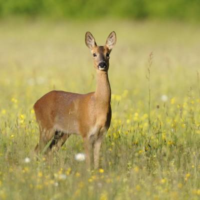 Deer- Cotswolds Tours Photos