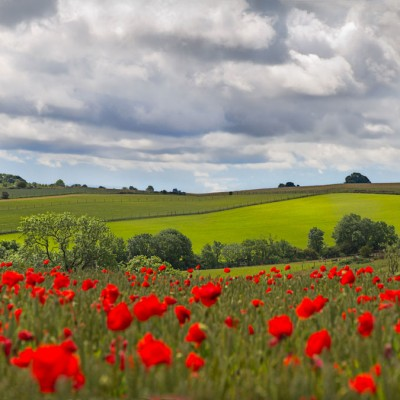 cotswolds tours- poppies
